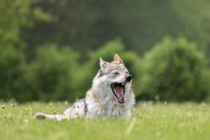 Tierfotos: Tschechoslowakischer Wolfhund