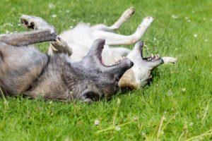 Tierfotos: Tschechoslowakischer & Amerikanischer Wolfhund