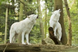 Tierfotos: Wölfe, Tiergarten Schönbrunn