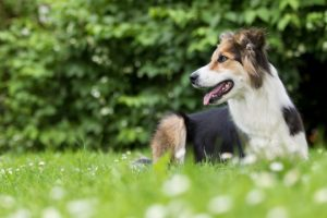 Tierfotos: Cindy, Border Collie