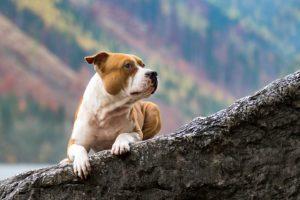 Tierfotos: Hector, American Staffordshire Terrier
