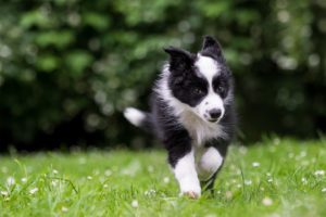 Tierfotos: Rasty, Border Collie