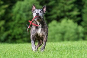 Tierfotos: Ares, American Staffordshire Terrier