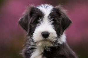 Tierfotos: Elsa, Bearded Collie
