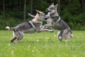 Tierfotos: Tschechoslowakische Wolfhunde